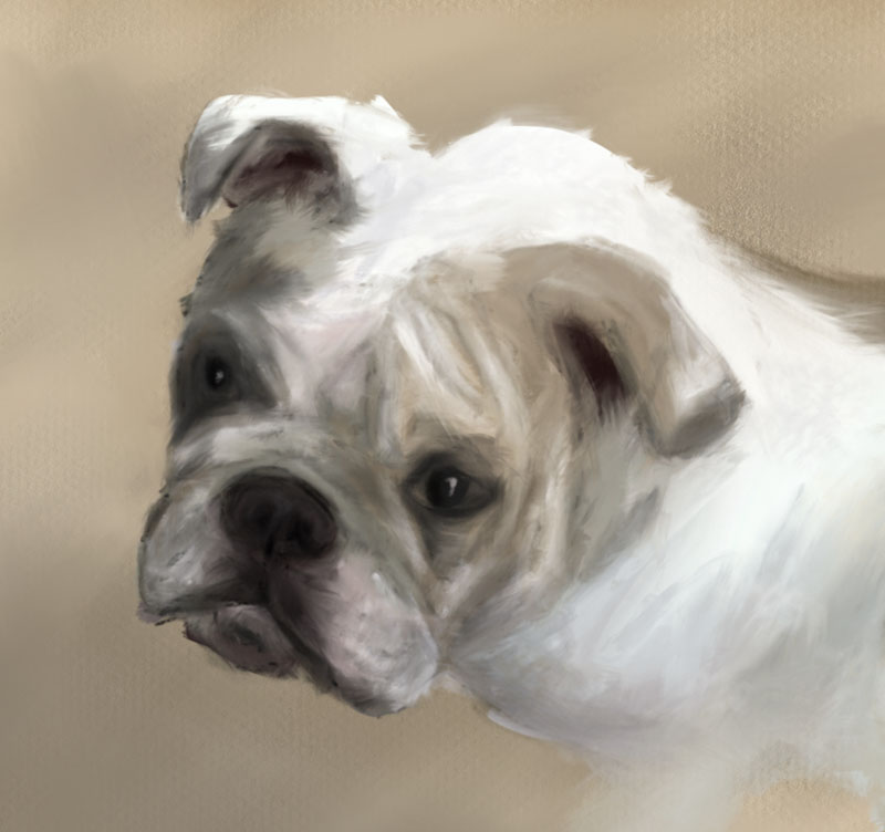 Stella the English bulldog