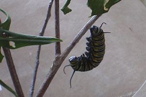caterpillar-chrysalis